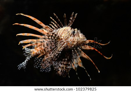 Red lion (Pterois miles) fish on black background