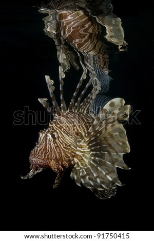 Red Lionfish and reflection
