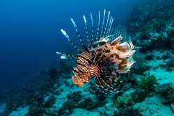 Red Lionfish hunting on the coral reef