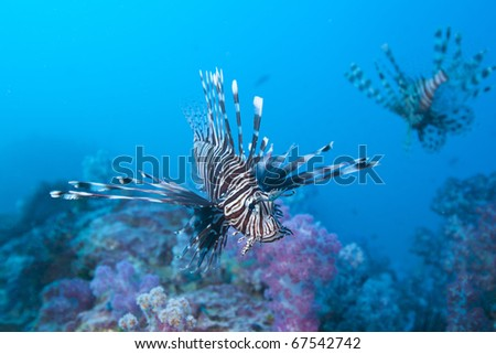 Red Lionfish of the family Scorpaenidae hovering over soft coral patch in the Andaman Sea, Thailand.
