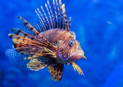Red lionfish - one of the dangerous coral reef fish. Beautiful and dangerous animals.