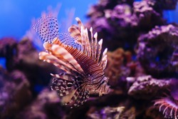 Red lionfish Pterois miles swimming hunting in ocean. Dangerous poisonous fish close-up. Coral nature background