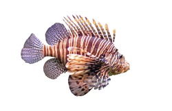 Red lionfish - Pterois volitans in front of a white background.