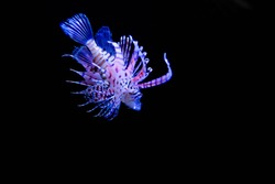 Red lionfish (Pterois volitans) with black background