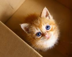 red little blue eye kitten in the box