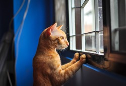 Red little cat looking out the window