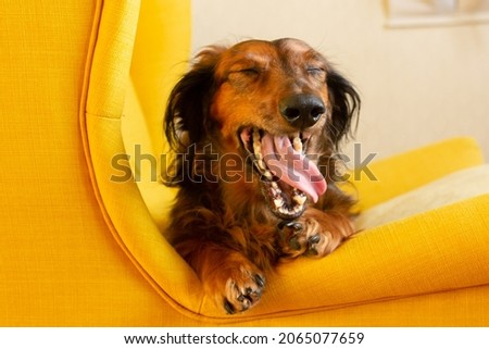 Red long haired dachshund yawning on yellow chair, small dog portrait