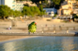 Red-lored Parrot Amazona autumnalis colorful bird blurred background