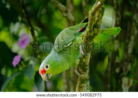 Red-lored Parrot, Amazona autumnalis, portrait of light green parrot with red head, Costa Rica. Detail close-up portrait of bird. Bird and pink flower. Wildlife scene from tropic nature.