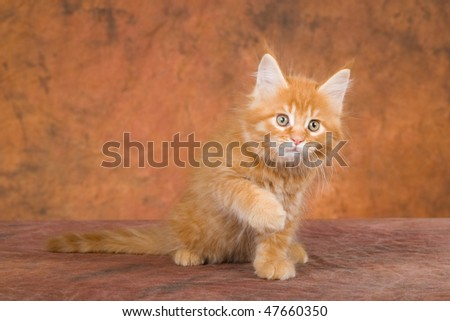 Red lynx Maine Coon kitten on brown mottled background fabric