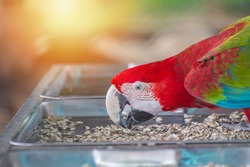 Red macaw eatting nature food with blur background