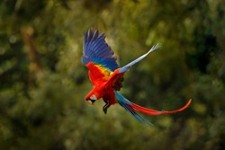 Red macaw parrot flying in dark green vegetation with beautiful back light and rain. Scarlet Macaw, Ara macao, in tropical forest, Costa Rica. Wildlife scene from tropical nature. Red in forest.