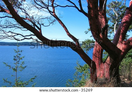 Red madrone tree in Washington