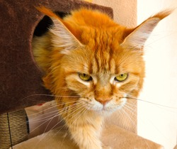 Red maine coon cat come out of house with sleepy face. Maine coon cat in bad mood wake up angry in monday morning. Sleepy cat (maine coon) funny pet awake & get out of house. Red sleepy kitten at home