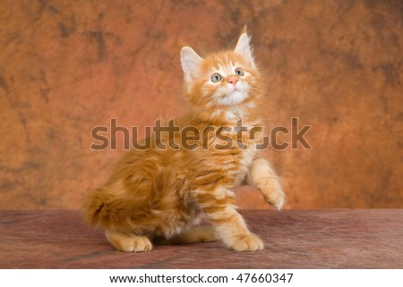 Red Maine Coon kitten on brown mottled background fabric - stock photo
