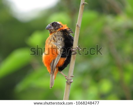 red male bishop perched on a...