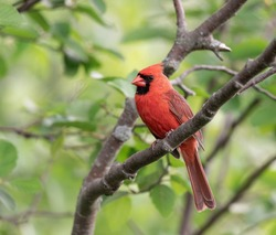 Red male cardinal sitting in the tree