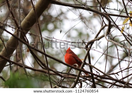 Red male northern cardinal songbird perched in a tree.