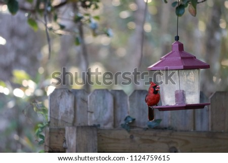 Red male northern cardinal songbird perched on a bird feeder near a backyard garden fence.
