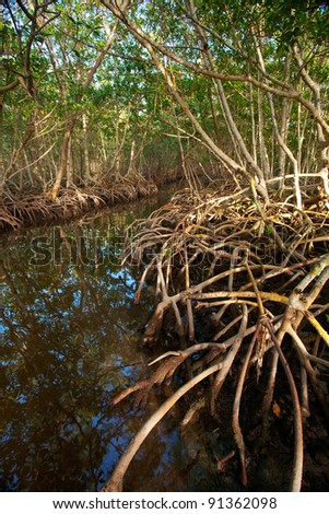 Red Mangrove Roots in Caribbean