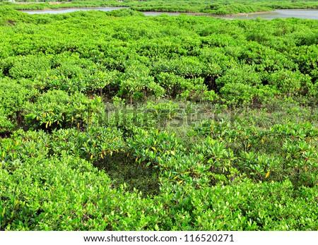 Red Mangrove wood in Hong Kong