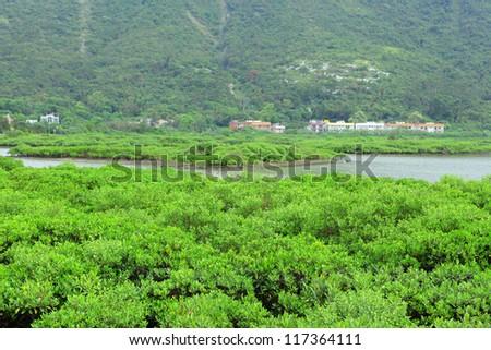 Red Mangrove wood in Hong Kong , Tai o
