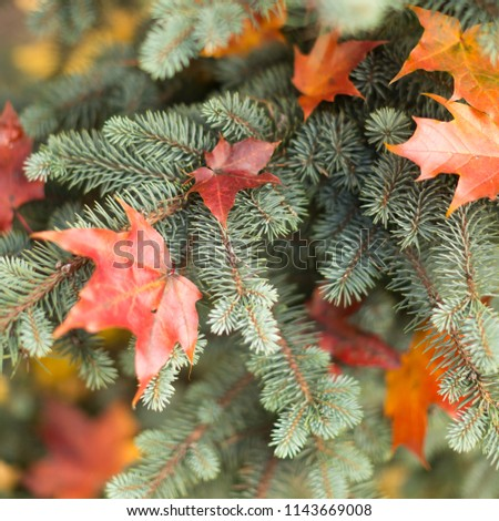 Red Maple dry leaves lying on spruce branches, cropped image, selective focus. Natural, autumn foliage, christmas concept