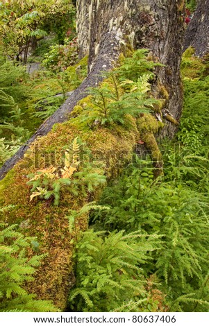 Red Maple in Tongass National Forest - temperate rain forest growth detail - near Juneau, Alaska