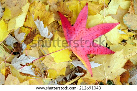 red maple leaf distinct on yellow maple leaves