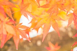 Red maple leaf in Autum season at Japan - vintage filter effect