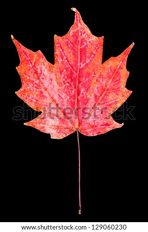 Red maple leaf ( (indian summer) . Autumn symbol. Seasonal themed concept. Icon of the fall weather on an isolated black background.