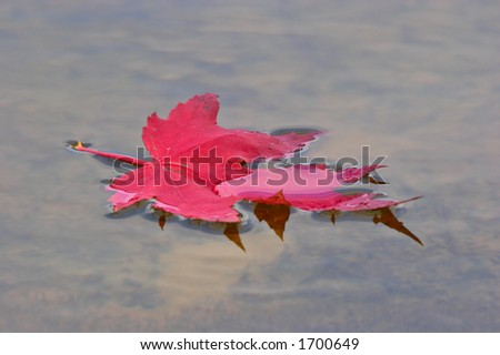 Red maple leaf on a water. Greenbrier State Park. Maryland. USA