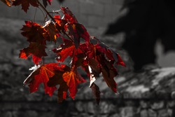 Red maple leaves and blurry dark silhouettes and cemetery wall at background. Mourning, funeral, grief, memorial, sorrow, loss concepts. Selective focus. Retro toned vintage red black white aged photo
