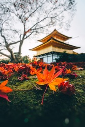 Red maple leaves fall to the green grass ground in autumn season with the golden pavilion, Kinkakuji temple the most famous zen historic temple in Kyoto, Japan