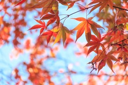Red maple leaves in autumn season with blue sky blurred background, taken from Japan.