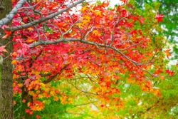 Red maple leaves in autumn season with blurred background, taken from  Kitakyushu, Fukuoka Prefecture, Japan.soft focus.