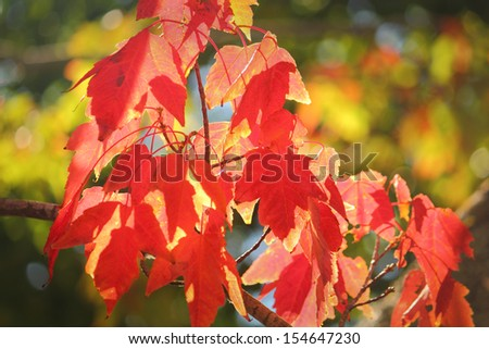 Red Maple Leaves, Sunshine. Red and gold colors of Maple leaves in autumn sunshine.