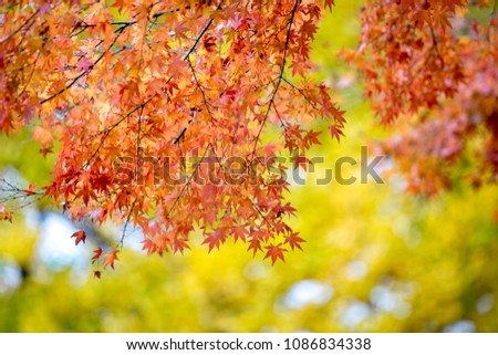 Red maple leaves with blurred background. Japan autumn season #1086834338