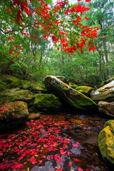 red maple on the waterfall