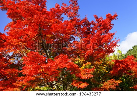 Red maple tree #196435277