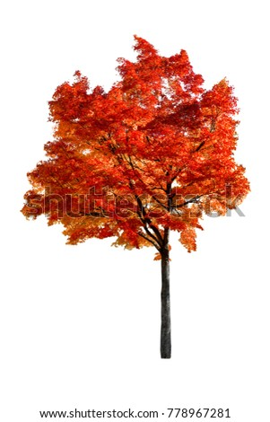 Red maple tree at autumn, isolated white background. #778967281