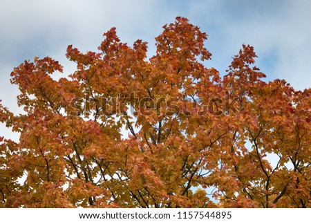 Red maple tree. Autumn in the Park and on the streets, defoliation, yellow leaves. Walking along the city streets and alleys of the Park
