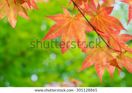 red maple tree background #305128865