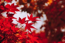 Red maple tree leaves in autumn season