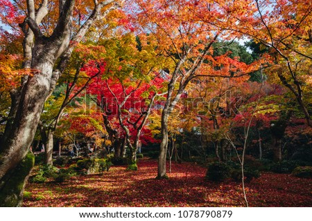 red maple tree with light from sunshine in autumn, Japanese garden in Enkoji Temple in Kyoto, Japan.