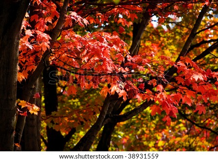 Red Maple Trees In Autumn with Fall Color