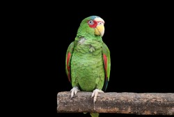 Red Masked Parakeet on wood with black Background.