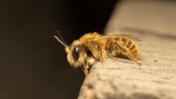 Red mason bee (lat. Osmia bicornis, synonym Osmia rufa)