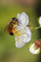 Red mason bee (lat. Osmia bicornis, synonym Osmia rufa) on cherry blossom. Pesticide free environmental protection save the bees biodiversity concept.