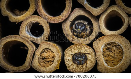 Red Mason Bees - Osmia bicornis -  emerging from nest tubes in an insect hotel